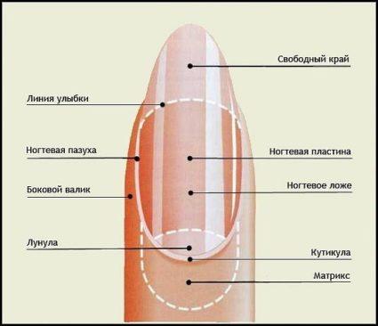 Схема структура ногтя